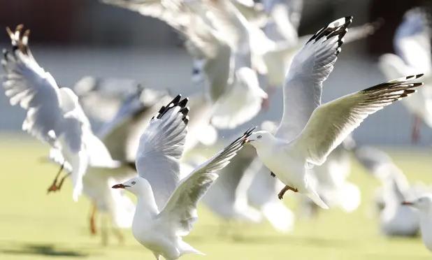 Australian Gulls carry Superbugs