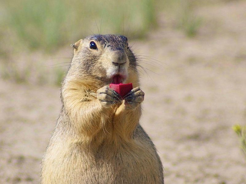 Prairie Dog eats vaccine